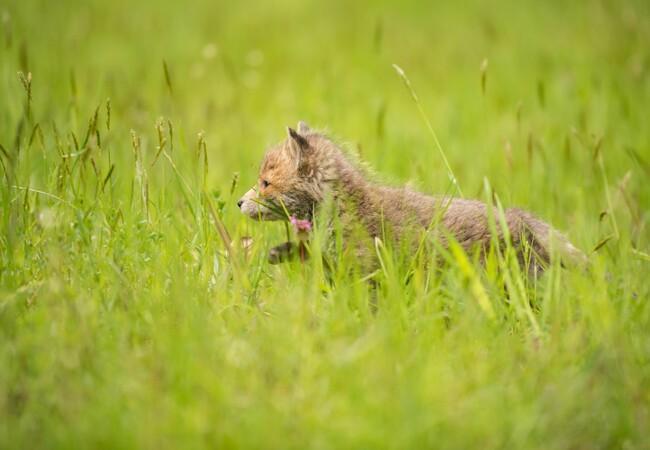 Baby Fuchs in TIERART