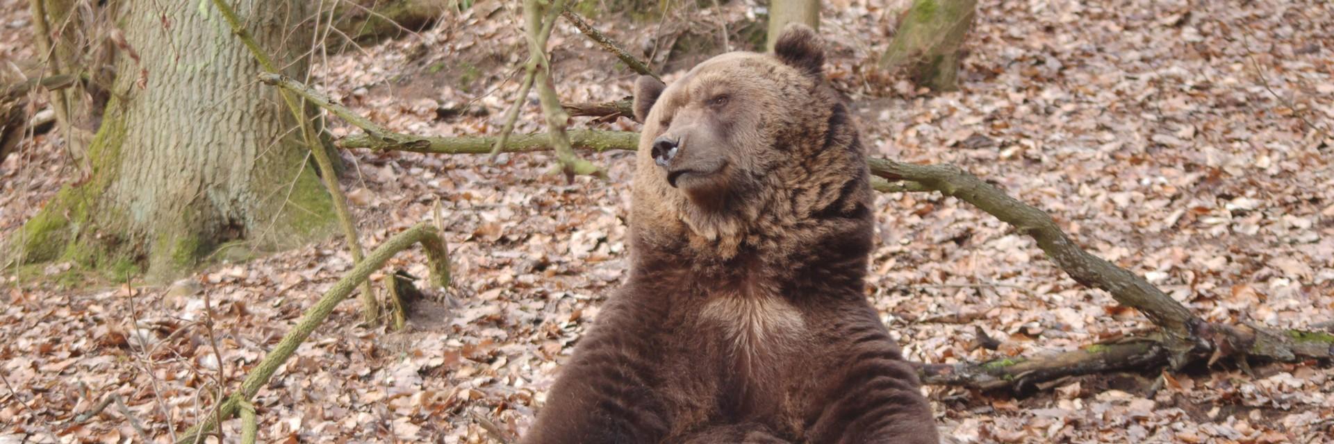 Braunbären im BÄRENWALD Müritz