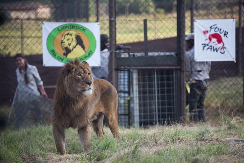 Löwe Saeed bei seiner Ankunft in Lionsrock © VIER PFOTEN | Daniel Born