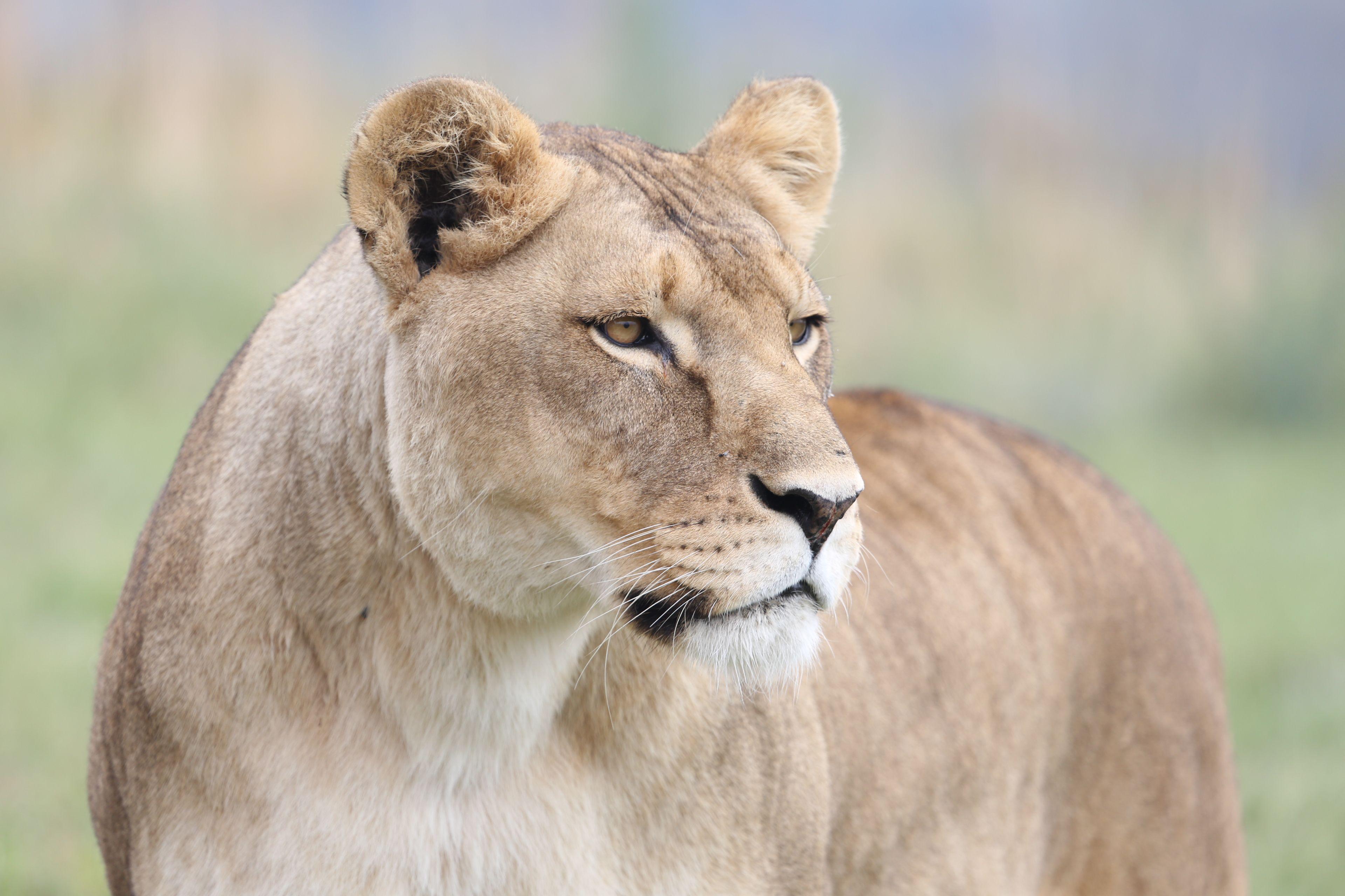 Lioness Neida in LIONSROCK