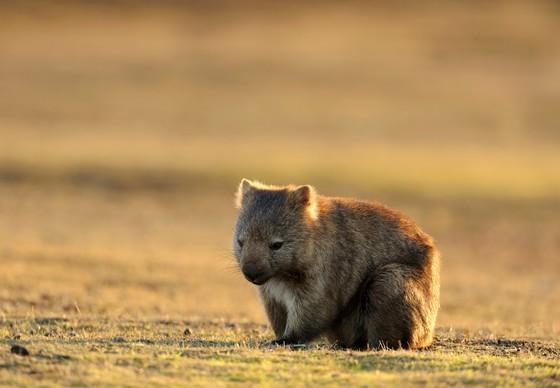 Wombat sitting in a field