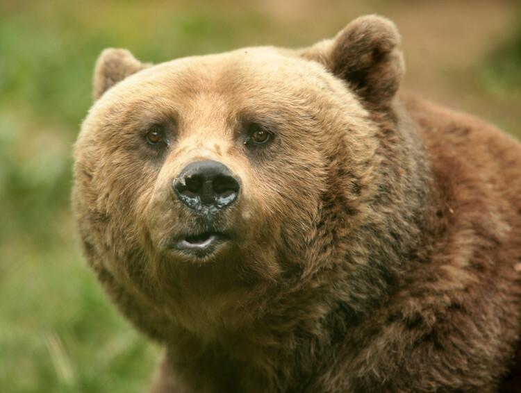 Bärenfell