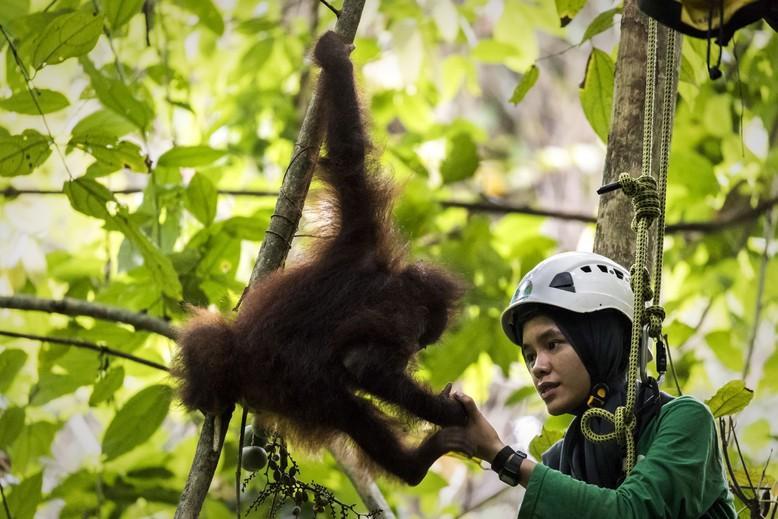 Caregiver Aoliya showing orphan orangutan climbing skills