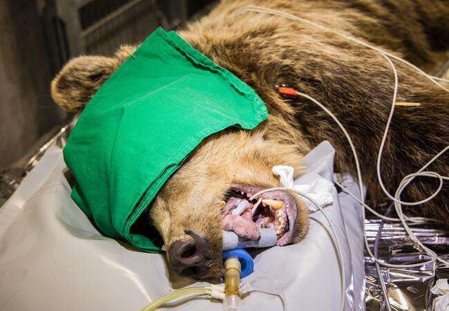 Zahnoperation Bärin Amelia