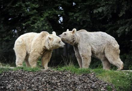 Deux ours se faisant un c¨âlin