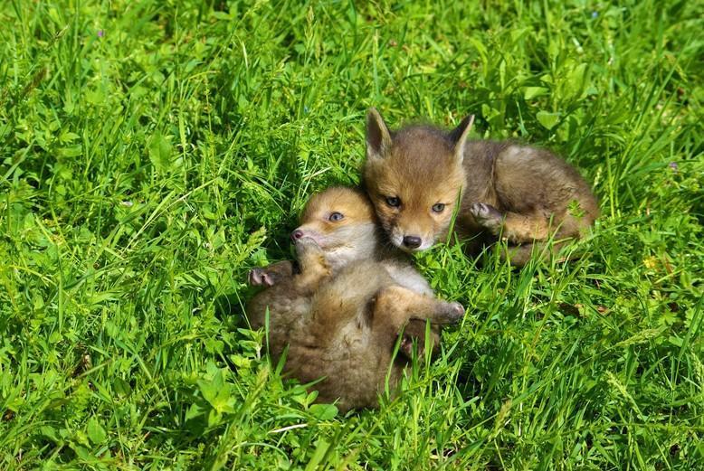 Fuchswelpen bei TIERART