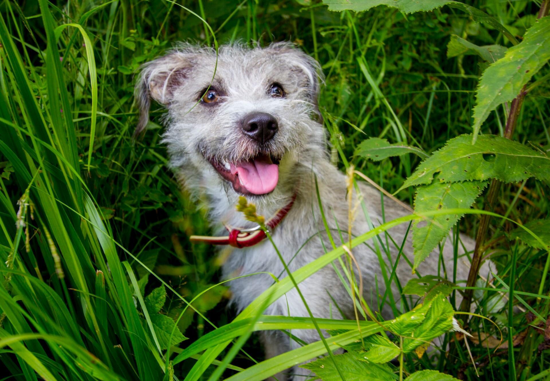 Hund in der Wiese