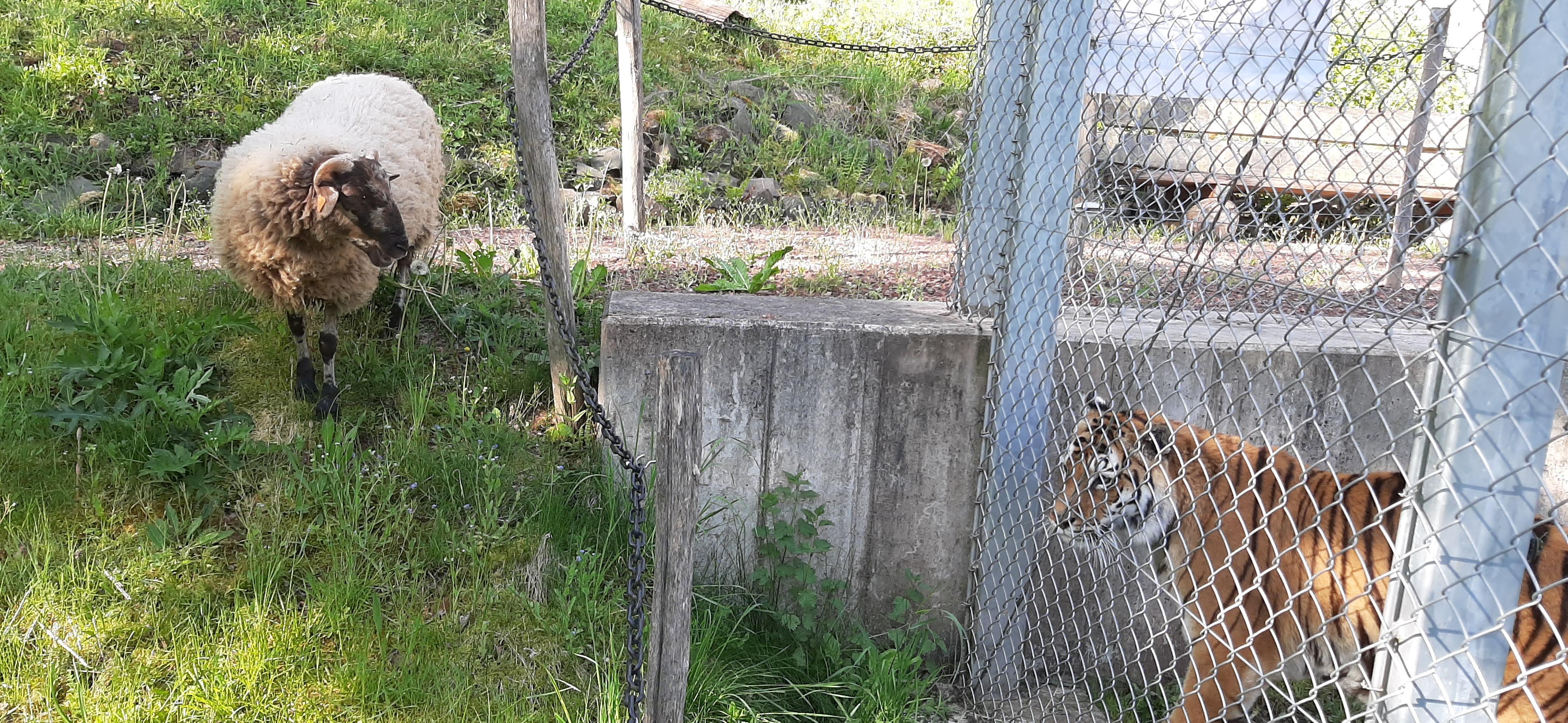 Hannibal besucht Tigerin Cara