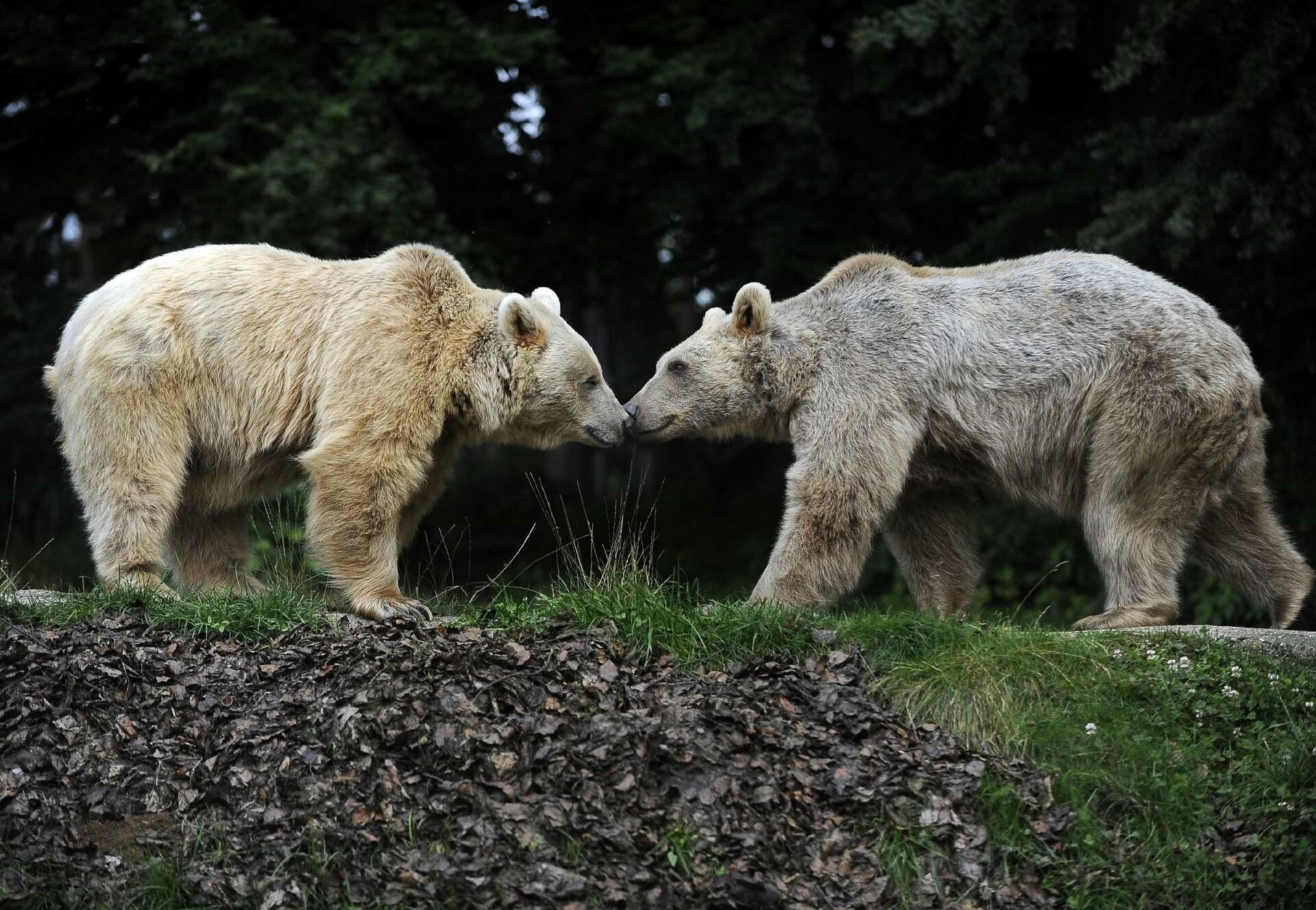Braunbären im BÄRENWALD Arbesbach