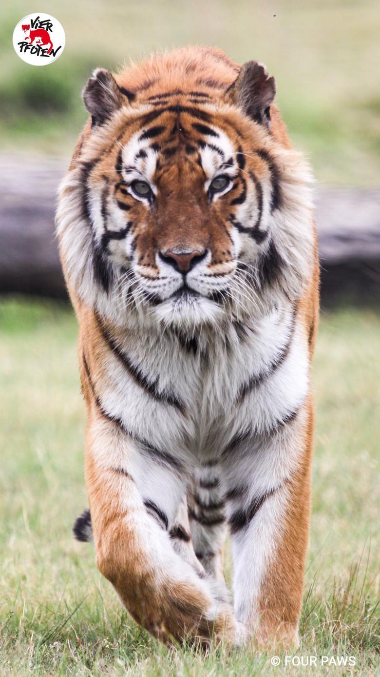 Tiger Caruso in LIONSROCK, 2019