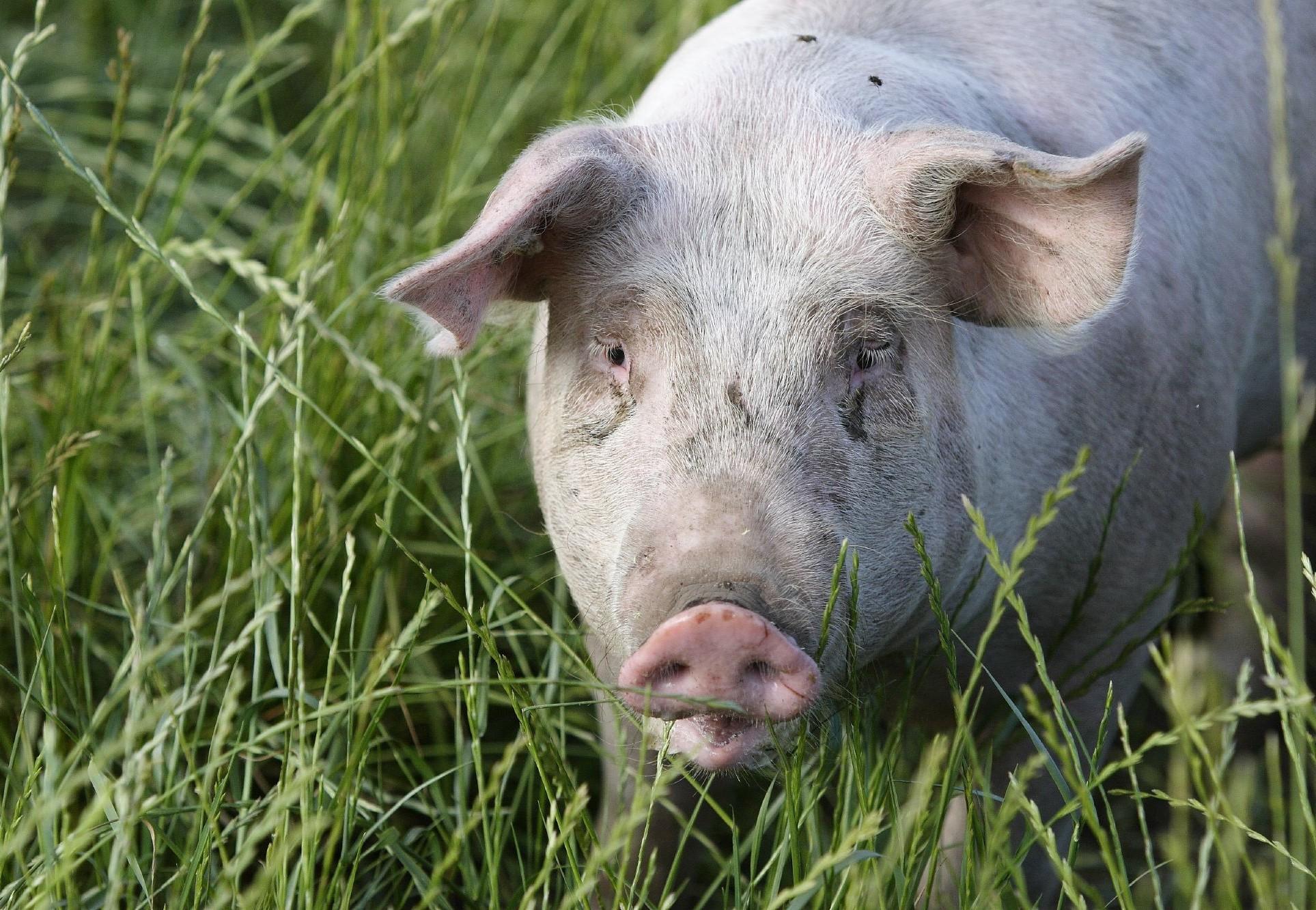 10 faits fascinants sur le cochon