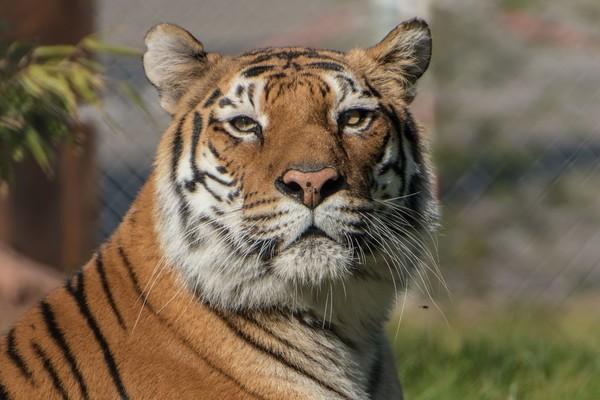 Tigerdame Varvara bei TIERART