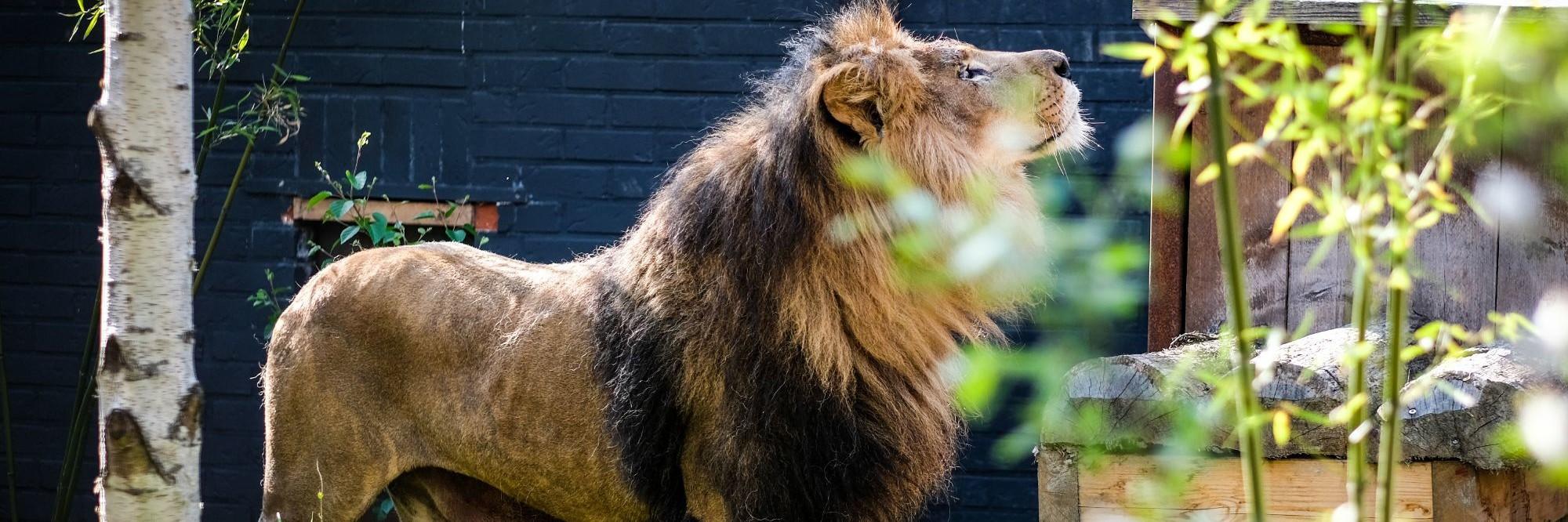Leeuw Zhaku in FELIDA