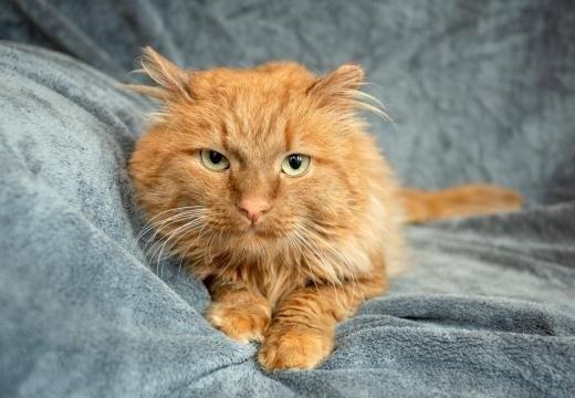 cat-maksim-blanket