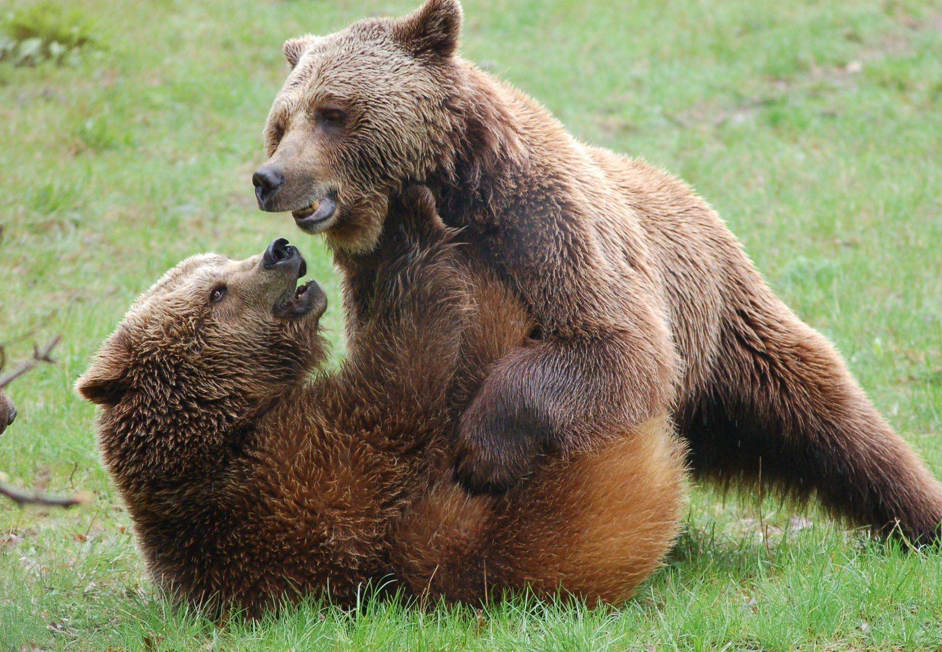 Zwei Bären beim Spielen auf einer Wiese