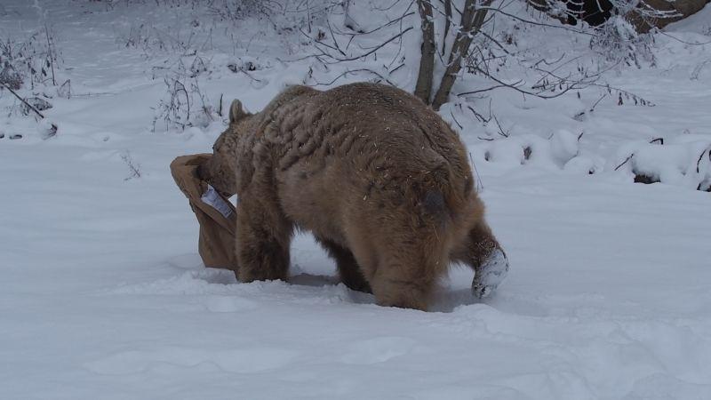 Bär Jerry bringt seinen Futtersack in Sicherheit. (c) VIER PFOTEN