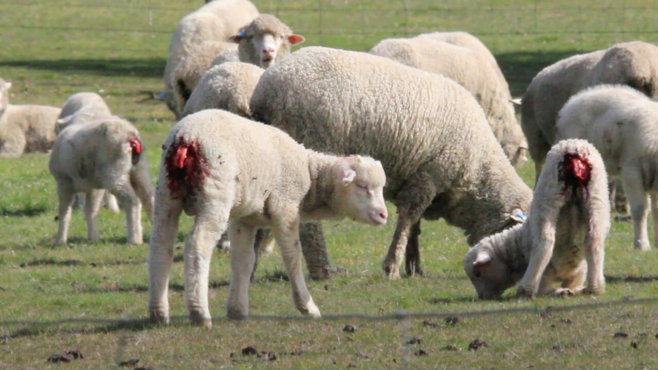 Lambs with open wounds