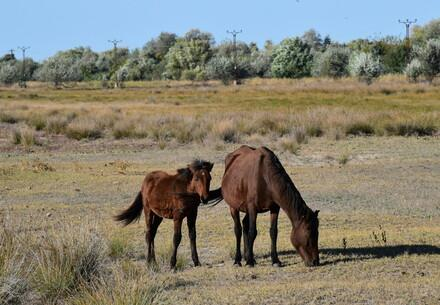 Feral horses in the Danube Delta