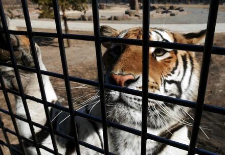 Eingesperrter Tiger