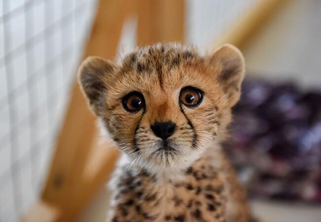 Gepardenjunges im Cheetah Conservation Fund (CCF)