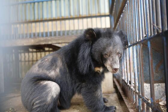 Bears Chuoi, Tao and Le are rescued