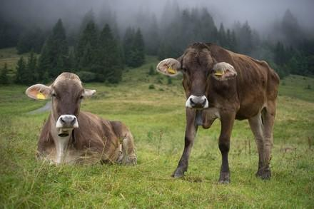 Rinder in Voralberg