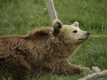 Bear Hope
