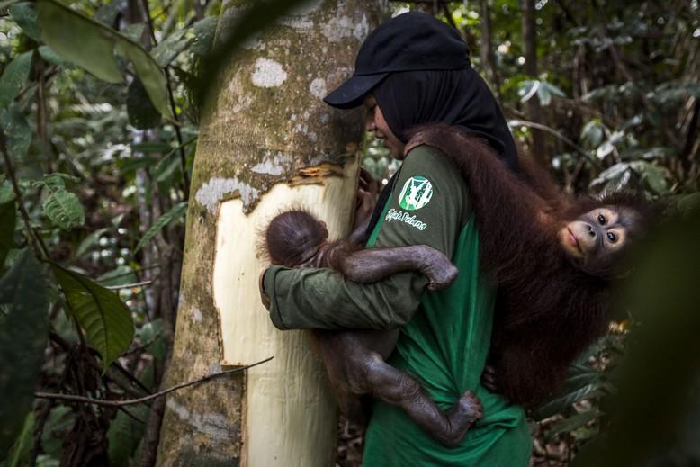 Caregiver showing orangutan orphan cambium