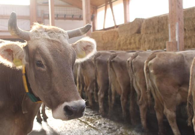 Die Kühe können sich frei im Laufstall bewegen