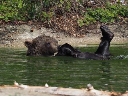 Bär Erich planscht im Teich