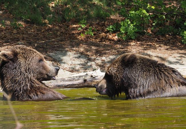 Bears Erich and Emma at the BEAR SANCTUARY Arbesbach