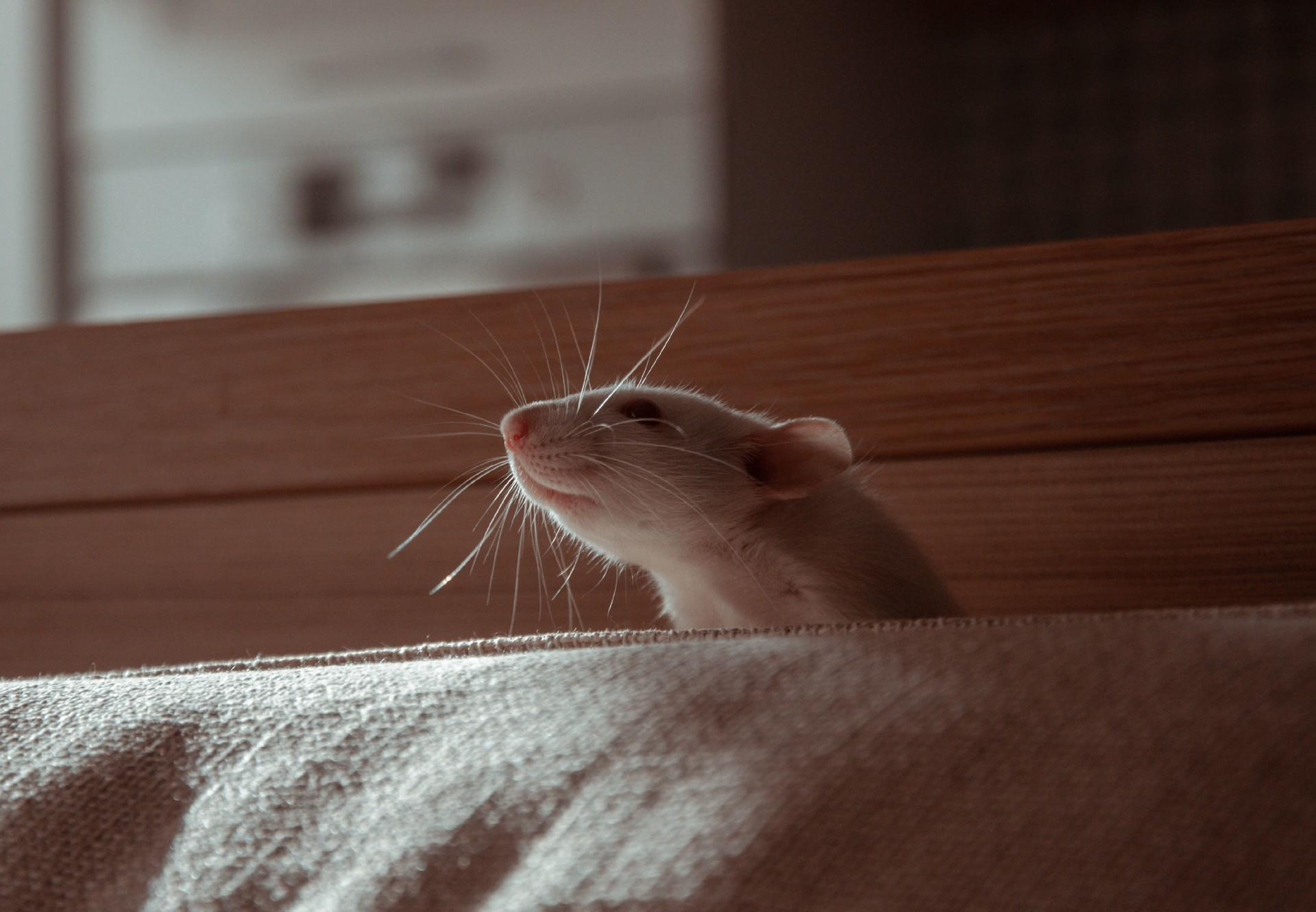 Appropriate nutrition for pet rats