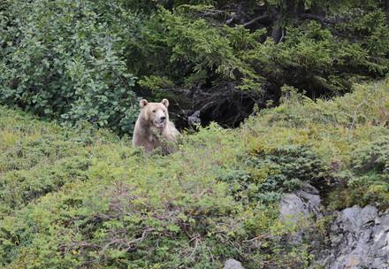 Bear Napa arrives at Arosa Bear Sanctuary