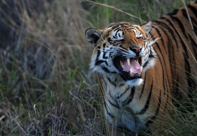 Tiger zeigt seine Zähne