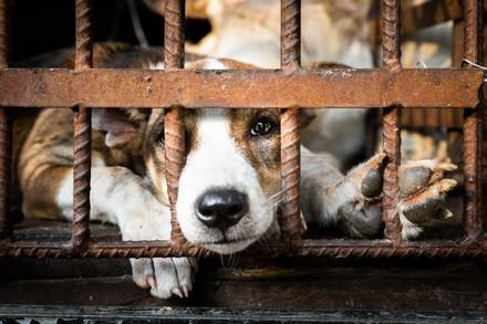 Dog looking out from behind bars in the dog meat trade