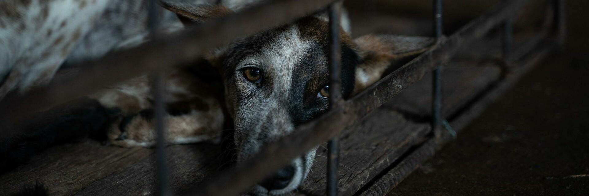 Hund im Käfig in einem Schlachthaus