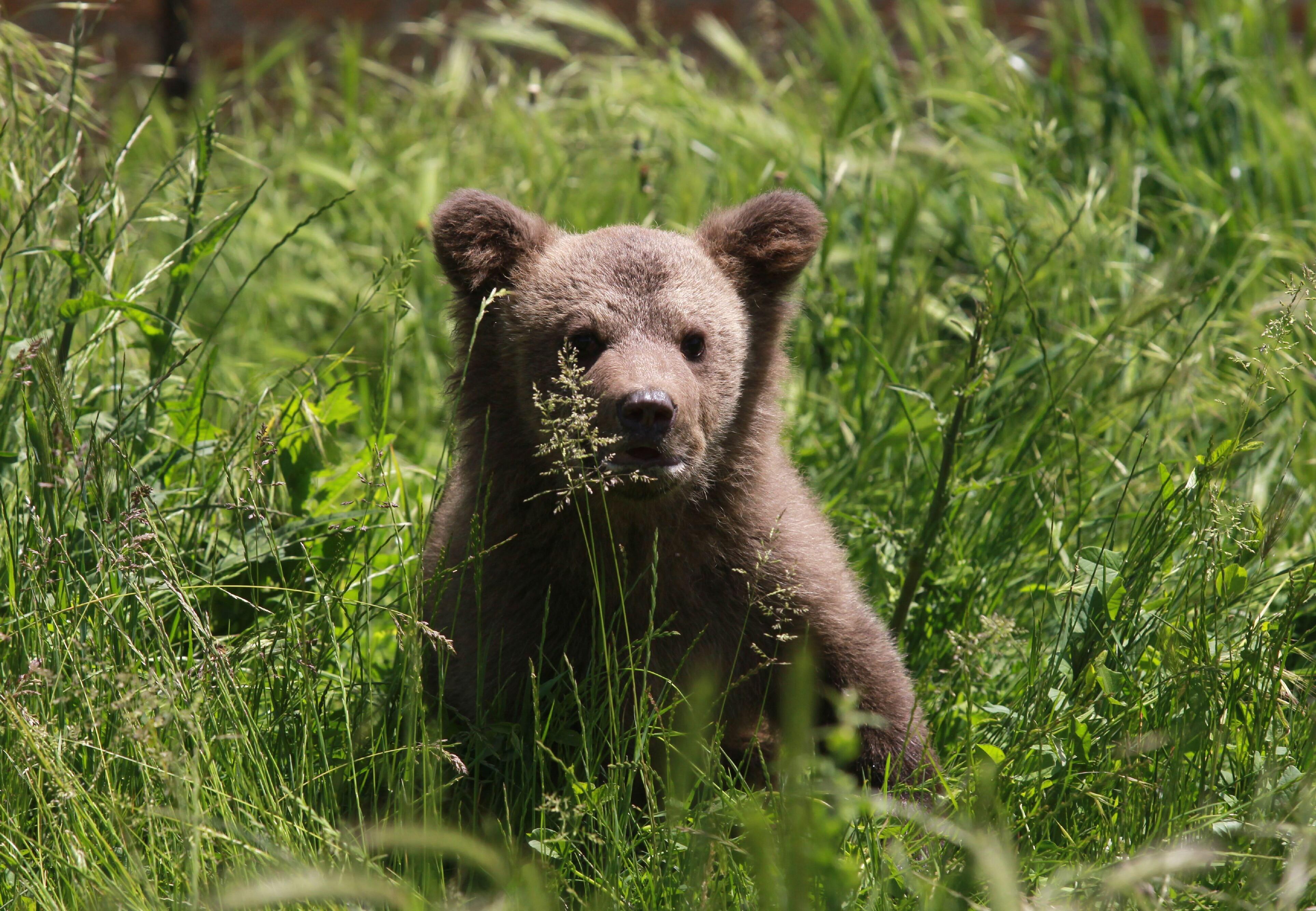 Bärenjunge nach der Freilassung im VIER PFOTEN Bärenwald (c) VIER PFOTEN   Hazir Reka