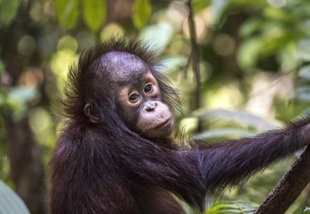 Orang-Utan Waises in Borneo