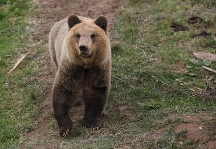 Brown bear Tomi walking in the grass
