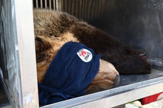 Die Bären Meimo und Amelia vorbereitet für den Transport