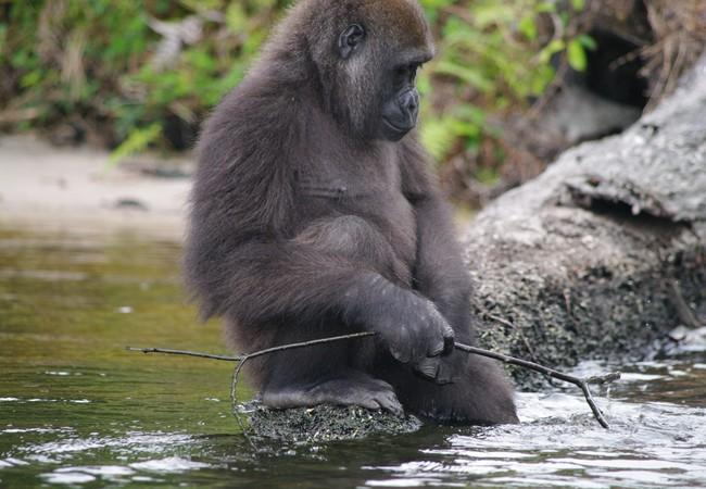 Gorilla in rover playing with stick