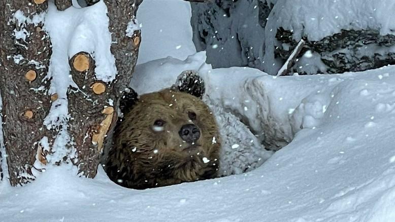 Bär Meimo steckt den Kopf aus der Höhle