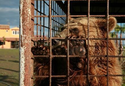 Braunbär im Käfig in Albanien