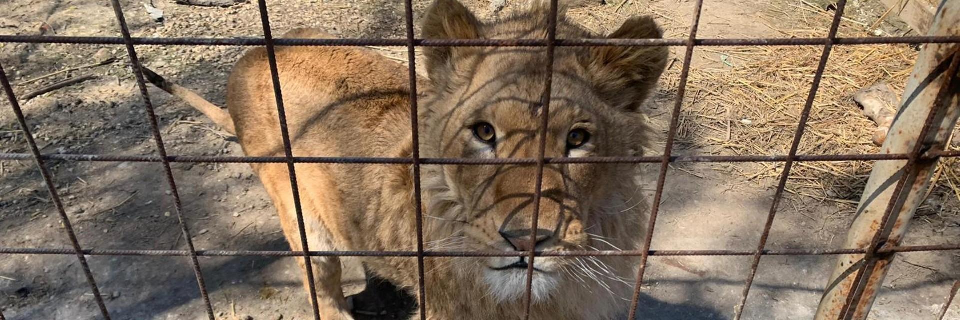 Leeuwen in nood in Roemenië