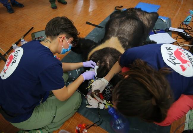 Bär Xuan wird tierärztlich versorgt